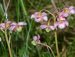 цветок зимолюбки