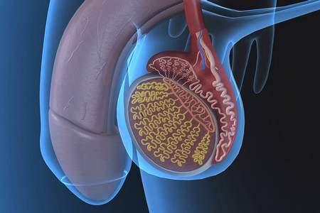 схематическое изображение мужских половых органов