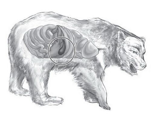 рисунок медведя со схематическим выделением места желчного пузыря на теле